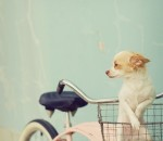 bike,dog,photography,aqua,basket,bikes-3c6ef836c71fd5f0db07c2d2a3b3451a_h